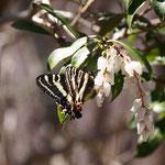 アセビの花の感じとギフチョウとのバランスを考えた写真です。2011.03.27(トリミングなし)