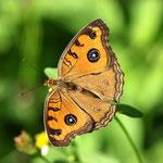 久しぶりに見るタテハモドキですが、撮影意欲がでる蝶ですね、那覇市2011.09.29
