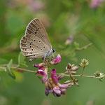 ゴマシジミ♂のハギでの吸蜜。この花があると♂も♀もよく吸蜜に来ますね。