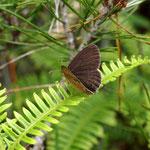 ヒメヒカゲ♂が開翅しましたが、発生初期なのに少し擦れてるのが残念です。