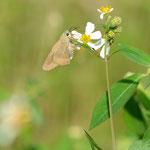 センダングサに吸蜜に来たタイワンアオバセセリ♀2012.11.25 D7000+200mmマイクロ(トリミング)