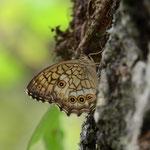 栗林の中で1時間ほど探して見つけたキマダラモドキ♂ 兵庫県西部2012.06.15 D7000+200mmマクロ