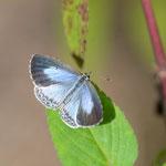 ヤクシマルリシジミ♀の開翅2012.11.25 D7000+200mmマイクロ