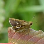 多摩川の河川敷で翅を広げるミヤマチャバネセセリ♀、府中市、2012.04.28 D7000+200mmマクロ