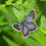 白馬村内の真性アサマシジミ♂の開翅です。雄と雌の鮮度が同じくらいですね。