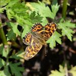 ヨモギの葉の上で開翅するサカハチチョウ、音更町2012.05.20