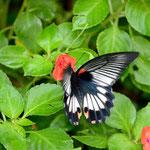ナガサキアゲハ♀のアフリカホウセンカでの吸蜜(少しぶれているのも表現のうちか)名護市2012.09.23