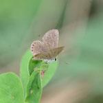 タヌキコマツナギの葉上で開翅するタイワンヒメシジミ♀ 西表島2012.11.24 D7000+20mmマイクロ