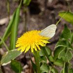 伐採地で撮影したエゾヒメシロチョウのタンポポでの吸蜜、音更町2012.05.20