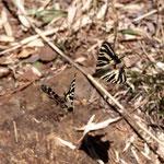 追尾するギフチョウ♂、左が羽化不全の個体