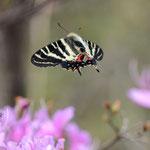 コバノミツバツツジの上を飛ぶギフチョウ♂、長久手市2012.03.13 D7000+200mmマイクロ(少しトリミング)