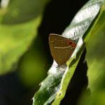 上の林で撮ったクロミドリシジミ♂、結局翅は開きませんでした。豊田市2012.06.10 D7000+200mmマイクロ