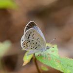 カタバミを食べるヤマトシジミは、12月まで我が家で見られる蝶です。ヤマトシジミ♂8月21日