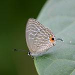 食草から遠く離れることなく飛び回るシロウラナミシジミ♀ 西表島2012.11.23 D7000+200mmマイクロ
