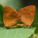 ムモンアカシジミの交尾(左手で葉を持ちながらの撮影で、思うように撮れない)2012.07.29 D7000+200mmマイクロ
