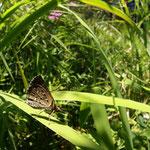 暑さのせいか、チャマダラセセリは現れず、ホシチャバネセセリ♀も草の中に隠れて暑さをしのいでいるようです。木曽町2012.08.04