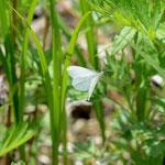 伐採地で撮影したエゾヒメシロチョウ♀?の飛翔、音更町2012.05.20