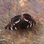 下手なオオイチ♂の開翅ですが、よく見ると翅脈のところが擦れていますね。