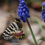 境内に植わっている園芸植物のムスカリに来たヒメギフチョウ♀ですが、かなり長い間吸蜜していました。