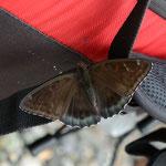 翔さんのカメラバッグに執着しているオオイチモンジ♂(黒化型)上高地2012.07.22 D7000+200mmマイクロ