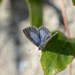 次に現れたヤクルリ♀は、開翅したり、産卵したり次の写真のように吸蜜もしてくれました。田原市2012.11.18 D7000+200mmマイクロ