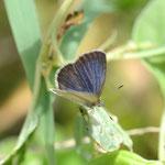ハマヤマトシジミ♂の半開翅、これくらいの角度がよいかもしれません、南大東島2011.09.30E-5+シグマ150mmマクロ