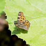 フキの葉上で開翅するアカマダラ、音更町2012.05.20