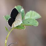 簡単に開翅してくれそうだったんですが、クロツバメシジミ♂宮田村2012.09.17 E-5+シグマ150mmマクロ