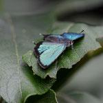 昼過ぎに突然下りて来て開翅したミドリシジミ♂松本市2012.08.05