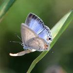 クロマダラソテツシジミ♀、結構きれいな蝶ですね、沖縄ではほとんど無視しますが・・・。