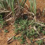サトウキビ畑の周囲にもイヌビユは普通に見られました