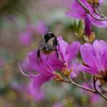 コバノミツバツツジに吸蜜に来ているクロマルハナバチの女王蜂、全身に花粉が付いていますね。