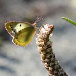 モンキチョウ♀のツメレンゲでの吸蜜、2011.10.16 D7000+85mm(上下トリミング)