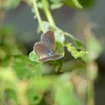 ハマヤマトシジミ♀の半開翅、もう少し新鮮だといいんですがね、南大東島2011.09.30E-5+シグマ150mmマクロ
