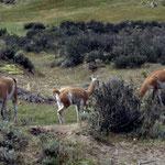 Die wildlebende Ahnform der Lamas das Guanako