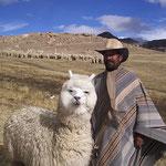 Alpaka Haltung in Bolivien