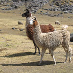 Lama Haltung in den Anden