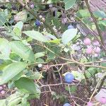 ブルーベリーは実が毎年大きくなります。