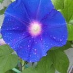 咲きたて、朝顔。朝つゆがついてます。