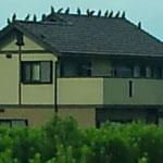 屋根の上のとんびの大群。
