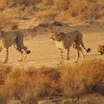 cheetahs on the prowl