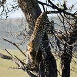 Leopard decending a tree