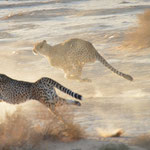cheetahs on the run