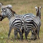 Zebras have an arguement