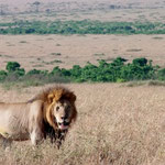 a male lion in the plains of Masai Mara