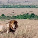 a male lion in the plains of Masai Mara