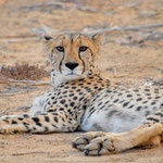 chilling cheetah