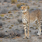 cheetah with a collar