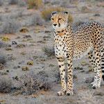 cheetah with a collar