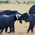 Elephants play in the Mara